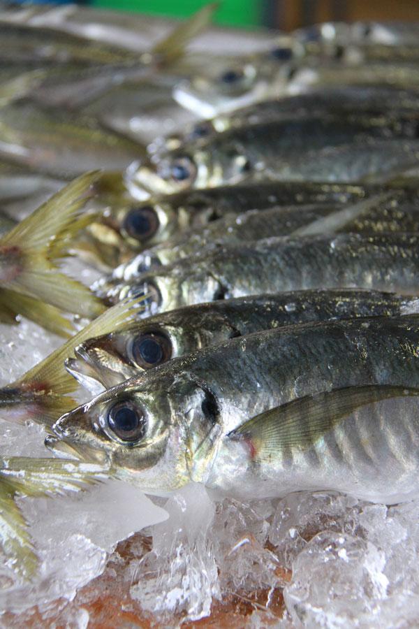 画像1: 漁協直営!日本海産 まき網大漁新鮮組朝獲れアジ 3kg 【送料無料!】※入荷次第発送(発送日の指定は承れません)【ギフト可】 (1)